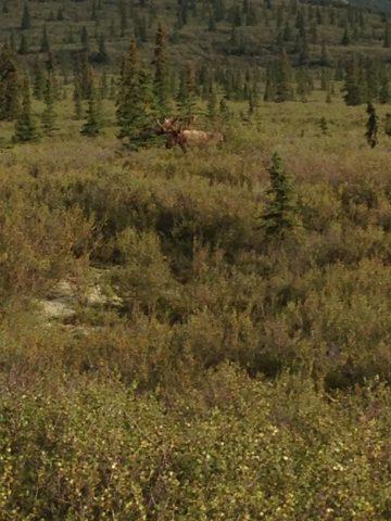草丛中的moose