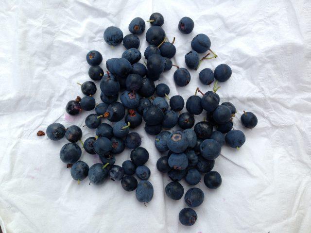 公园里的蓝莓