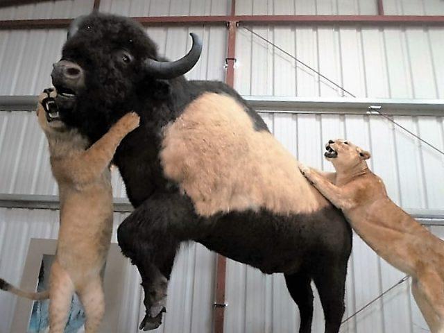 动物博物舘内,美洲虎攻击耗牛