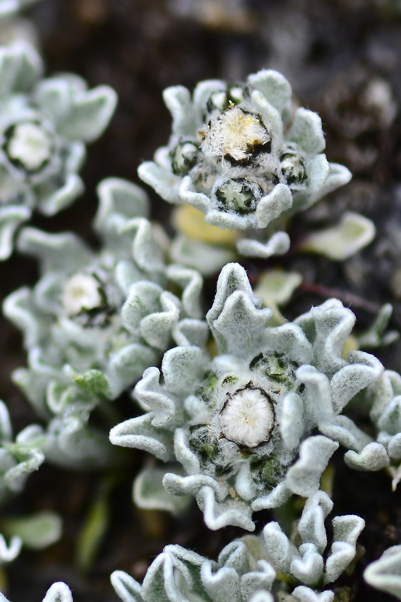 喜马拉雅山的雪绒花